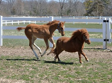 640px-Adult_miniature_horse_with_regular-sized_foal