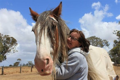 Many of the Clydesdales surrendered to Ms Brierly are old work horses © ABC South East SA: Lucy Robinson