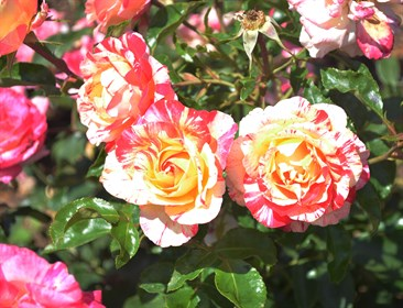 Roses in full bloom at Flemington. © Suzie Potter Photography