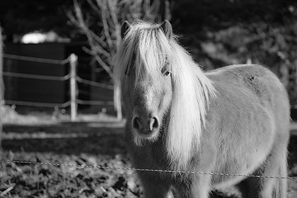 Shetland pony - Labelled for reuse