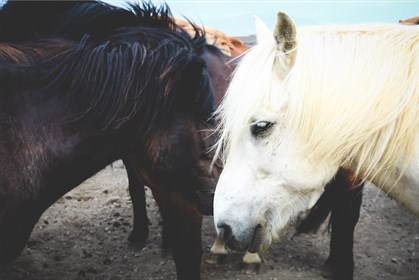 Strangles is more common when there are many living horses together.