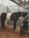 Zidane following colic surgery. Photo: Emma Booth Para Equestrian Facebook page